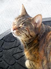 Ce moment de pur bonheur quand on peut ENFIN sentir le printemps.... (Kermitfrog ;-)) Tags: maya chat cat katze kitty jura 39 authume bourgognefranchecomté printemps sentir smell spring