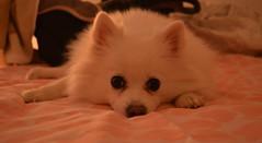 Aska,it's my name. (marijanaivljanin993) Tags: dog puffin white eyes ears paws doghair snuff dark indoor roomlight january focus camera nikon d3200 pas photo photography fotografija montenegro hercegnovi december holiday newyear