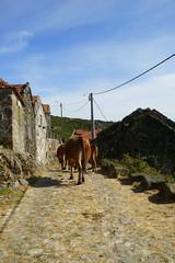 Serra da Cabreira - Portugal (CarlosCoutinho) Tags: cabeceirasdebasto carloscoutinho portugal arquitectura arquitetura architectur architecture architettura architektur cattle ox oxen cow