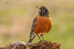 American Robin (Lynn Tweedie) Tags: wood bokeh beak tail wing canon ngc animal 7dmarkii feathers sigma150600mmf563dgoshsm bird eos eye tree missouri robin