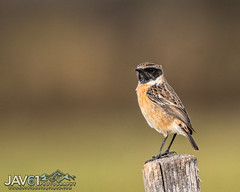 Whinchat (Saxicola rubetra)-7364 (George Vittman) Tags: bird passerinebird post tree whinchat nikonpassion wildlifephotography jav61photography jav61 ngc fantasticnature