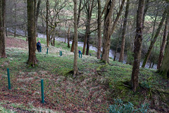 Tree planting Sabden Brook 03