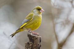Verdier d'Europe (DorianHunt) Tags: greenfinch birds bokeh switzerland march 2019 sigma 150600mm nikond500