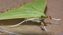 Patchy wing lace moth Parotis suralis Spilomelinae Crambidae Airlie Beach rainforest P1020104 (Steve & Alison1) Tags: patchy wing lace moth parotis suralis spilomelinae crambidae airlie beach rainforest