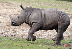 white rhino Burgerszoo 094A0984 (j.a.kok) Tags: rhino rhinoceros witteneushoorn neushoorn whiterhino breedlipneushoorn animal mammal zoogdier dier africa afrika burgerszoo burgerzoo