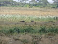 Cape buffalo, Nairobi National Park (Animal People Forum) Tags: buffalo capebuffalo africanbuffalo ungulate bovine herbivore wildlife kenya nairobinationalpark nairobi africa