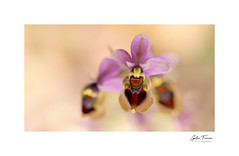 Come to me (Ophrys Tenthredinifera) (g.femenias) Tags: ophrystenthredinifera abelleravermella ophrys orchidaceae orchideae orchid wildorchid flower wildflower nature naturallight macro macrophotography puntadenamer calamillor santllorenç mallorca macroflowerlovers nikonflickraward