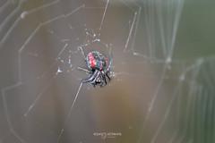Ñandutí (Andres Ulibarrie) Tags: ñanduti insecta araña animalia arthropoda arachnida araneae araneidae parawixiabistriata wildlife