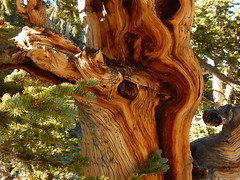 Bristlecone (Pictoscribe) Tags: pictoscribe abstract nature shapes