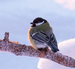 Profile (MrBlackSun) Tags: tit forest winter finland frozen frozenforest nikon d850 kuusamo birds bird birdlover kuusamonaturephotography nature photography naturephotography lapland