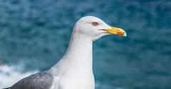 European herring gull (Larus argentatus) (Torok_Bea) Tags: europeanherringgull laridae nikon nikond7200 natur nature nikond sea beautiful birds bird gull animals amazing wonderful portre portrait ezüstsirály sirály larusargentatus d7200 croatia croatie