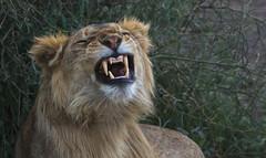 Happy Caturday (AnyMotion) Tags: lion löwe pantheraleo male 2018 anymotion ndutu ngorongoroconservationarea tanzania tansania africa afrika travel reisen animal animals tiere nature natur wildlife 7d2 canoneos7dmarkii portrait porträt porträtaufnahmen ngc npc