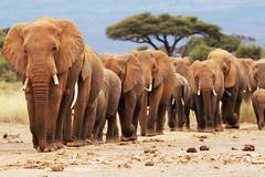 Amboseli line up (Susan Walker QP) Tags: elephants amboseli safari kenya animals africa