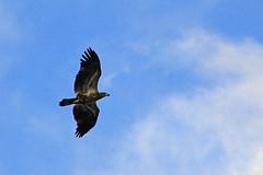 songEagle5 (GrfxDziner) Tags: bald eagle immature 2nd year haliaeetus leucocephalus grfxdziner dc kerimccarthydrive gwennie2006 dcmemorialfoundation canon rebel t6 rebelt6 eos efs 75300mm american