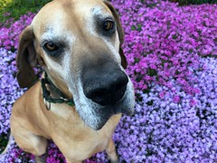91/365 (moke076) Tags: 2019 365 project 365project project365 oneaday photoaday mobile cell cellphone iphone moose great dane dog animal pet fawn flowers bed spring pink purple face closeup atlanta ga grey gray creepingphlox phlox bloom blooming flower plant