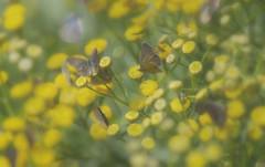 Hobbit butterflies (Sarah Fraser63) Tags: sliderssunday