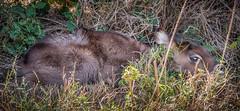 Newborn Waterbuck (helenehoffman) Tags: tucked mammal newborn kobusellipsiprymnus waterbuck lewawildlifeconservancy bovidae animal