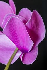 Cyclamen 2019-4-10 (5D_32A2577) (ajhaysom) Tags: cyclamen pink 100flowers2019 image47100 greenvale melbourne australia canoneos5dmkiii canon100mmlmacro