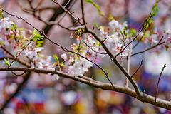 RAW_IMGP4421 (kirinoa) Tags: 横浜市 神奈川県 日本 jp 日ノ出町 黄金町 大岡川 桜
