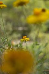 paper daisies (louisa_catlover) Tags: karwarra garden karwarraaustraliannativebotanicgarden dandenongs outdoor nature flowers daisies paperdaisies everlasting asteraceae bokeh dof australian native