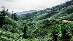 Green tea (Cédric Nitseg) Tags: malaisie travelling outdoor backpacker nikon malasia travel vert green thé voyage cameronhighlands d7000 plantation tea greelow