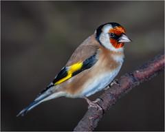 Goldfinch (Linton Snapper) Tags: cardueliscarduelis goldfinch finch canon cambridgeshire lintonsnapper bird gardenbirds