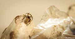 Araignée sauteuse (Quentin Douchet) Tags: araignée faune jumpingspider macrophotographie nature salticidae animal araignéesauteuse fauna macro macrophoto spider