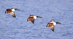 Hilda's birds (~ **Barbara ** ~) Tags: shoveler wildbird water naturereserve summerleys sunny northamptonshire countryside canon7dii handheld heavylens lake ducks hildaogden coronationstreet tvprogramme soap