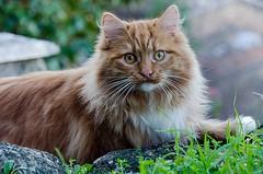 2019-02-16_09-52-35 (bartric - Bartolomeo) Tags: sguardo dettagli ritratto gatto morgantini nikon cat felino nikond200