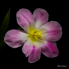 Pink tulip (Magda Banach) Tags: canon canon80d sigma150mmf28apomacrodghsm blackbackground colors flora flower macro nature pink plant plants tulip yellow