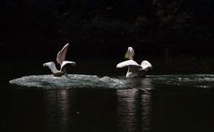 DSC_0409 (mkumar.photographer001) Tags: pelicansbird