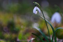 perce-neige (jpto_55) Tags: fleur bokeh proxi xt20 fuji fujifilm kiron105mmf28macro hautegaronne france ngc