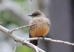 Say's Phoebe 2 (Monkeystyle3000) Tags: says phoebe bird brown peach