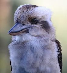 Kookaburra (Uhlenhorst) Tags: 2017 australia australien animals tiere birds vögel travel reisen coth coth5 specanimal natureinfocusgroup