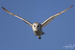 Locking eyes with a Barn Owl (AndyNeal) Tags: animal wildlife nature bird birdinflight birdofprey owl barnowl essex essexwildlifetrust naturereserve abbertonreservoir
