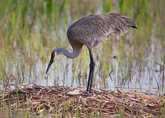 Sandhill Crane at Nest (Randy Lowden) Tags: sandhillcrane nest eggs vierawetlands randylowden florida