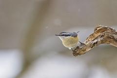pointing nuthatch (G_Anderson) Tags: nuthatch missouri winter birding backyard
