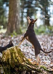 Nestor aux aguets. (Philippe Bélaz) Tags: nestor pragois ratierdeprague aguets animal animaux animauxdecompagnie balades bois chiens debout famille forêts promenade souches