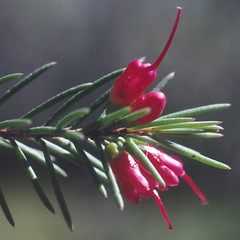 Chamelaucium sp. Yoongarillup, Kings Park, Perth, WA, 22/12/94 (Russell Cumming) Tags: plant chamaelaucium chamaelauciumspyoongarillup myrtaceae kingspark perth westernaustralia
