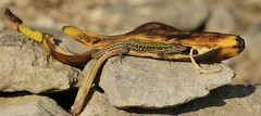 Wall Lizard (podarcis Muralis) (farrertracy) Tags: walllizard reptile rocks spring sunshine dorset bluesky green brown fruit coast podarcismuralis yellow banana unseasonal quarry