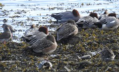 Wigeon and teal (BSCG (Badenoch and Strathspey Conservation Group)) Tags: moray bird sunshine march duck wi male drake