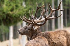 behind each other (alexander.bransperger) Tags: nature deer wildlife animals austria