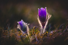 First Pasqueflower (der LichtKlicker) Tags: kaiserstuhl2019 kaiserstuhl baden breisgau sunset sun sunbeams spring frühling hills berge europa nature natur flowers blossoms blooms blüten pflanzen blumen plant meadow wiese trockenrasen weinberge vogesen vosges skyporn cloudporn wolken himmel sonnenuntergang gegenlicht leuchten fujifilm fuji xt2 xf1024mm wider angle weitwinkel evening light abendlicht abend grass gras shadows schatten pulsatilla xh1 xf80mm