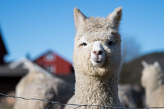 Maybe the cutest animal in the world (Ivan Mæland) Tags: sky animal alpaca norway øyslebø norge