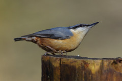 K32P5951c  Nuthatch, Lackford Lakes, February 2019 (bobchappell55) Tags: lackfordlakes suffolk wild wildlife nature bird