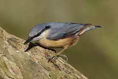 K32P2078c Nuthatch, Barnwell C.P., March 2019 (bobchappell55) Tags: barnwellcountrypark northamptonshire wild wildlife nature bird nuthatch sittaeuropaea woodland
