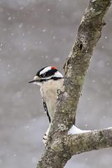 male downy in snow (G_Anderson) Tags: woodpecker missouri backyard birds birding winter snow