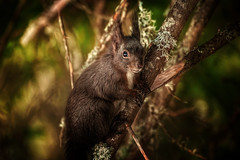 Red squirrel (Chrisnaton) Tags: redsquirrel eich eichhörnchen arosa naturedetails nature animal