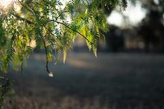 Soaking up the last of the light (ThyNameIsBlair) Tags: australia outback bendigo farmlife オーストラリア アウトバック ベンディゴ 牧場ライフ