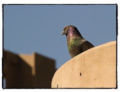 Pigeon in the concrete jungle. #photography #photooftheday #photoadaychallenge #canon7d #sigma150600 #nature #opcmag #project365 #yyc #calgary #pigeon (PSKornak) Tags: photography photooftheday photoadaychallenge canon7d sigma150600 nature opcmag project365 yyc calgary pigeon bird piegeon alberta canada